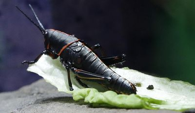 A lubber grasshopper snacks on a piece of lettuce in a display at the Houston Zoo's new bug house Friday, May 23, 2014, in Houston. The Bug House has 30 species of native and exotic insects on display. (AP Photo/Pat Sullivan)