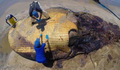Jim Carretta, left, Justin Greenman, top, and Kerri Danil, all with the National Marine Fisheries Service, start cutting into the whale's head at Border Field State Beach in San Diego on Thursday, May 29, 2014.  (AP Photo/U-T San Diego, Hayne Palmour IV)