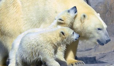 ** FILE ** In this undated file photo provided by the Toledo Zoo, baby polar bear cubs Suka and Sakari, born in November 2012 are seen at the zoo in Toledo, Ohio. (AP Photo/The Toledo Zoo, File)