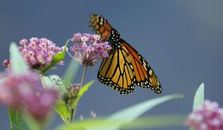 In this July 22, 2012, file photo, a Monarch butterfly eats nectar from a swamp milkweed on the shore of Rock Lake in Pequot Lakes, Minn. A new study published in the journal Nature Communications suggests that monarch butterflies use an internal magnetic compass to help navigate on their annual migrations from North America to central Mexico. (AP Photo/Ann Heisenfelt, File)