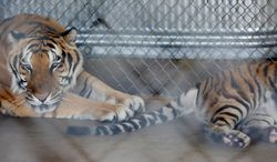 Siberian tigers, who were likely cross-bred, Mohan (left) and Emma sit in their enclosure at the In Sync Wildlife Rescue and Educational Center in Wylie, Texas on June 17, 2014. Mohan and Emma were both brought to the rescue facility in August 2000. Recently eight big cats at the rescue have died from canine distemper contracted by the presence of raccoons near the animal's enclosures. (AP Photo/The Dallas Morning News, Andy Jacobsohn)