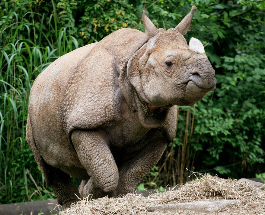 ** FILE ** An undated photo provided by the Cincinnati Zoo & Botanical Garden shows Nikki, an endangered rhino who died Thursday, July 3, 2014. (AP Photo/Cincinnati Zoo & Botanical Garden )