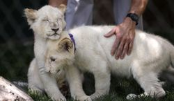 White lion cubs rub against each other during an event to welcome the cubs to Siegfried & Roy's Secret Garden and Dolphin Habitat, Thursday, July 17, 2014, in Las Vegas. Three white lion cubs, born in South Africa, are scheduled to be available for public viewing Friday. (AP Photo/John Locher)