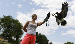 """In this Monday, July 14, 2014 photo, Natasha Shintar holds out her glove for the Harris hawk named """"B.J."""" at the Raptor Rehabilitation House in Selah, Wash. The hawk has demonstrated an affinity for Shintar and responds to her commands. (AP Photo/Yakima Herald-Republic, Mason Trinca)"""
