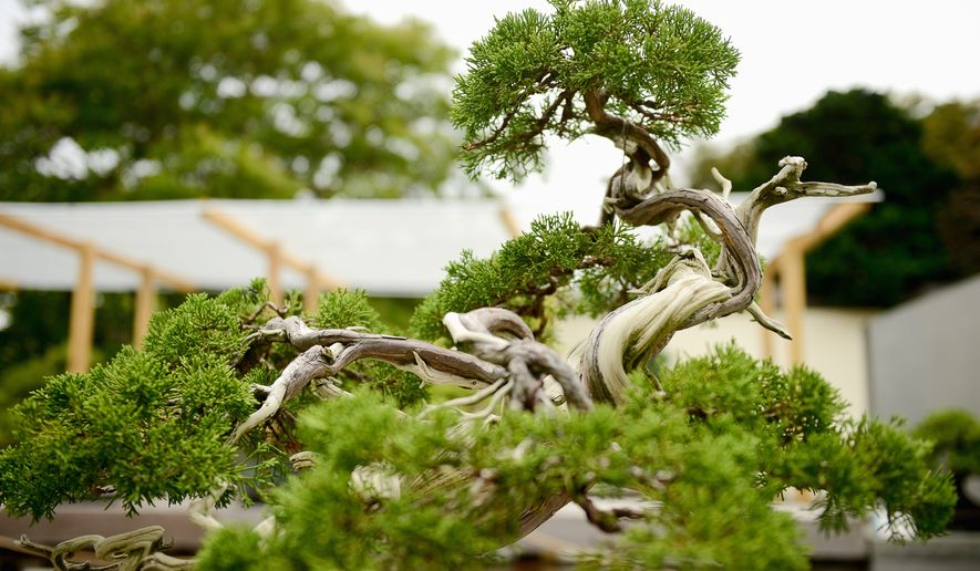 The Japanese bonsai collection is on display in the courtyard of The National Bonsai and Penjing Museum at the U.S. National Arboretum. (Photographs by Andrew Harnik/The Washington Times)