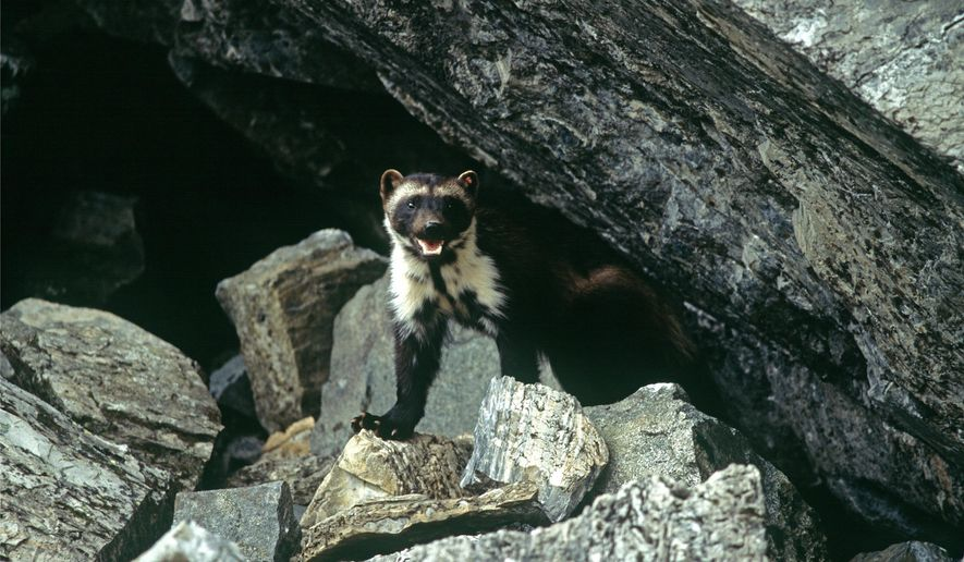 This undated photo provided by Defenders Of Wildlife shows a wolverine that had been tagged for research purposes in Glacier National Park, Mont. Federal officials will announce Tuesday, Aug. 12, 2014, that wolverines do not warrant protection under the Endangered Species Act in a finding that underscores the difficulties of using climate models to predict what could happen to a species decades from now. (AP Photo/Defenders of Wildlife, Ken Curtis)