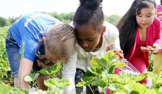 Makayla Keech, left, Josha'lynn Dotson and Juana Sanchez pick strawberries with their Morrison Elementary first-grade class, Monday, May 12, 2014, at Wild Things Farm in Pocola, Ark. (AP Photo/Southwest Times Record, Rachel Rodemann)