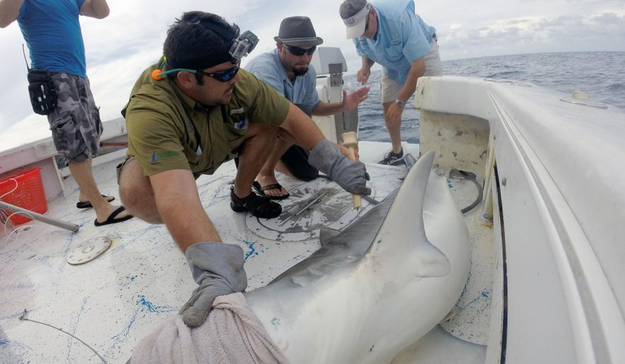 In this photo taken in May 2014, Dr. Matt Ajemian, left, and Dr. Greg Stunz, right, of the Harte Research Institute collect samples and measurements from a 11-foot tiger shark while Naples Daily News journalist Scott Butherus, center, inserts a tracking tag at the base of its dorsal fin off the coast of Juno Beach, Fla. during the filming of a documentary that will be featured on Discovery Channel's Shark Week on Aug. 11, 2014. Part of Butherus' contributions to the Shark Week filming was his commentary on the legend of Old Hitler, a hammerhead shark legend in southwest Florida. (AP Photo/Naples Daily News, Scott Butherus)  FORT MYERS OUT, TV OUT, MAGS OUT