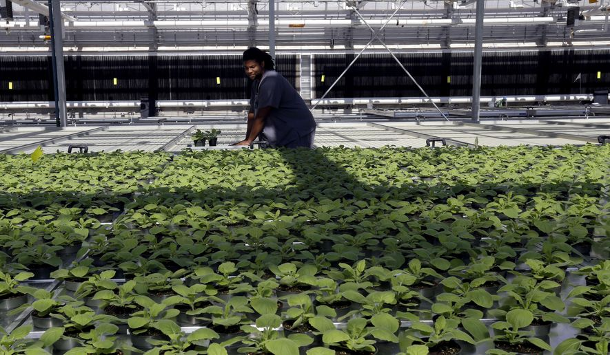 In this photo taken Thursday, Aug. 14, 2014 biotech greenhouse associate specialist Derek Haynes replaces tobacco plants in the greenhouse following examination at Medicago USA, Inc. in Research Triangle Park, N.C.Through it's plant-based technology, the facility is capable of producing millions of doses of vaccines. (AP Photo/Gerry Broome)