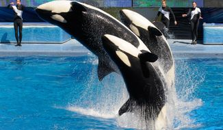 In this March 7, 2011 file photo, trainers Joe Sanchez, left, Brian Faulkner and Kelly Aldrich, right, work with killer whales Trua, front, Kayla, center, and Nalani during the Believe show in Shamu Stadium at the SeaWorld Orlando theme park in Orlando, Fla.  After more than a year of public criticism of its treatment of killer whales, SeaWorld said Friday, Aug. 15, 2015, that it will build new, larger environments at its theme parks and will fund additional research on the animals along with programs to protect ocean health and whales in the wild. (AP Photo/Phelan M. Ebenhack, File)