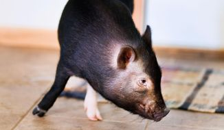 In this photo taken on Tuesday, Aug. 12, 2014, Dozer, a miniature pot-bellied pig owned by Shane Wilson of Eau Claire, Wis., sniffs the floor. Dozer was given to Wilson and his wife as a wedding present and is a registered service animal for Wilson, who served in the Marines. (AP Photo/The Eau Claire Leader-Telegram, Marisa Wojcik) ** FILE **