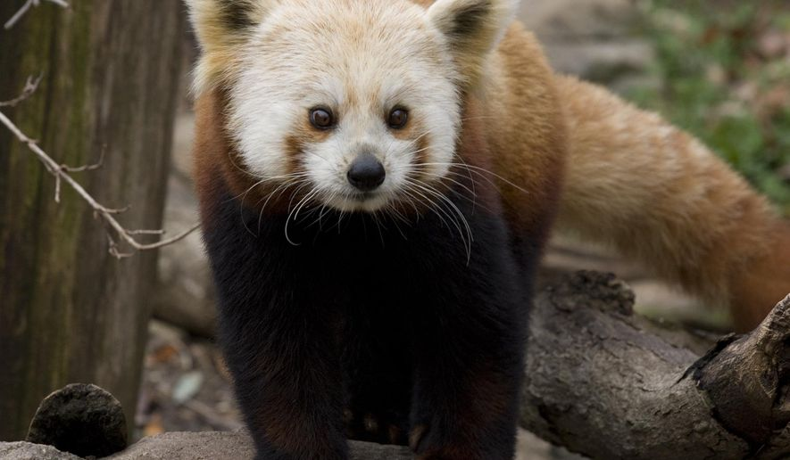Shama, a female red panda, is seen in an undated photo provided by the Smithsonian's National Zoo. On Saturday, Aug. 16, 2014, Sharma, 7, was euthanized at the Smithsonian Conservation Biology Institute in Front Royal, Va. after suffering brain swelling associated with a microscopic parasite. (AP Photo/Smithsonian's National Zoo)