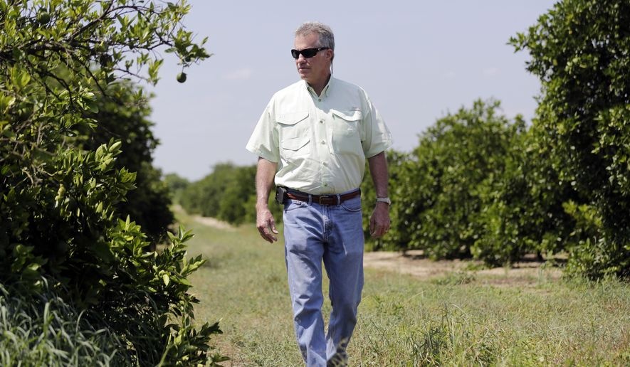 """In this Wednesday, July 30, 2014 photo, Ellis Hunt Jr., 61, walks past an orange tree, left, which is affected by a disease called """"greening"""",  in Lake Wales, Fla. The Hunt  family owns 5,000-plus acres of groves and is part of the co-op that contributes to Florida's Natural, the third largest juice brand in the country. Florida's $9 billion citrus industry is facing its biggest threat yet by a tiny invasive bug called the Asian Citrus Psyllid, which carries bacteria that are left behind when the psyllid feeds on a citrus tree's leaves.  (AP Photo/Lynne Sladky)"""