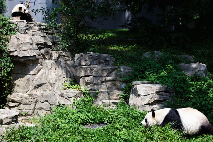 Bao Bao has grown into an active, independent panda who sometimes keeps her audience and her keepers waiting. She spends much of her time perched in trees.