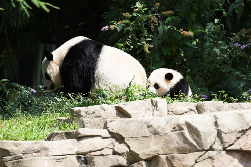 Bao Bao follows her mother, Mei Mei, back into their indoor enclosure for feeding time. On Saturday, zoo visitors can watch as the 1-year-old cub gets her birthday cake.