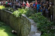 "The sight of pandas at play is a magnet for crowds. ""There's nothing like a panda cub to bring people to the zoo,"" said National Zoo animal keeper Nicole MacCorkle. (Photographs by Keith Lane/Special to The Washington Times)"