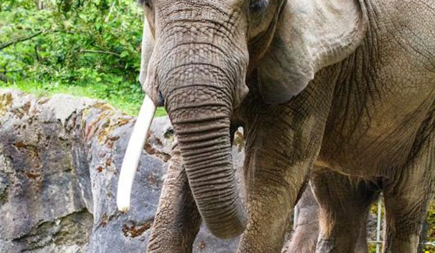 This undated image provided by the Woodland Park Zoo in Seattle shows Watoto, a 45-year-old African elephant which has been at the zoo since 1971.  The zoo said Friday, Aug. 22, 2014,  its only African elephant unexpectedly died on Friday. (AP Photo/Woodland Park Zoo, Dennis Dow)