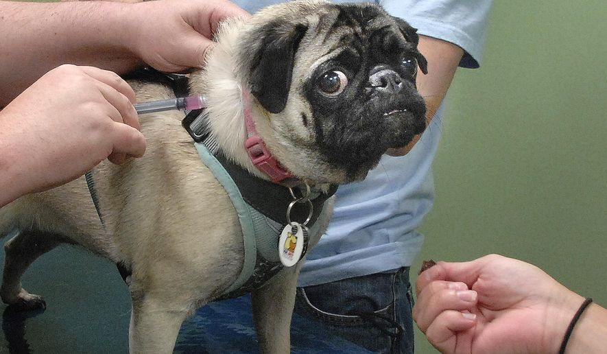 In this Aug. 12, 2014 photo, Abigail E. Rigby, a pug belonging to Bill Danosky and his wife, Chris, gets an injection of the parvo-distemper vaccine at Bortell Animal Hospital in Bloomington, Ill. Parvovirus, a highly contagious disease, has killed some puppies after being almost nonexistent in the area for several years. (AP Photo/The Pantagraph, David Proeber)