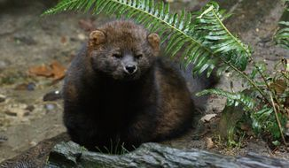The Pacific fisher (Fish and Wildlife Service)