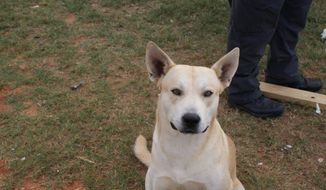 This Wednesday, Oct. 29, 2014, photo, provided by the Prattville Police Department shows Edward Melvin Henderson's dog, named Bo, in Prattville, Ala. Bo followed his fleeing master, who was being pursued by officers, which ultimately lead to his arrest.  Henderson is charged with failure to obey police, manufacturing a controlled substance and possession of drug paraphernalia.  (AP Photo/Prattville Police Department)
