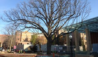 A 250-year-old bur oak tree stands near the front entrance to the Stephen M. Ross School of Business on the University of Michigan campus in Ann Arbor, Mich., on Monday, Nov. 3, 2014. The 65-foot-tall tree was moved 500 feet to make way for a $135 million donor-funded expansion of the Ross School. (AP Photo, Mike Householder) ** FILE **