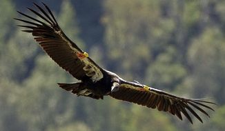 A pro-hunting group is up in arms after obtaining emails that it says indicate that a federal official withheld critical data on lead blood levels in the California condor until after gun control advocates in the California state legislature used the iconic bird's plight to help push through a law last year to ban lead ammunition. (Associated Press)