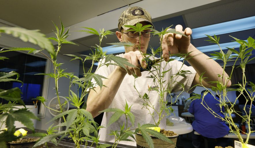 In this July 1, 2014, photo, Mike Thrapp, head grower at Sea of Green Farms, a recreational pot grower in Seattle, trims damaged leaves from marijuana plants that will be packaged and sold for recreational use. (AP Photo/Ted S. Warren, File)