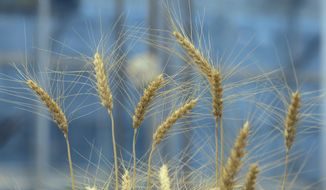 Wheat grows in a research facility at the Wheat Innovation Center in Manhattan, Kan., Wednesday, March 11, 2015. (AP Photo/Orlin Wagner)