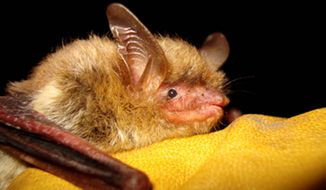 The government declaring the northern long-eared bat a threatened species runs afoul of energy lobbies concerned that protecting its habitat will disturb resource development. (Associated Press)