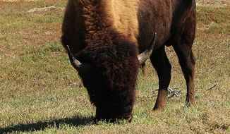 An upstate New York sheriff is standing by his decision to have 15 runaway bison shot and killed last week, despite receiving a wave of backlash and even death threats from concerned animal lovers. (Wikimedia Commons)