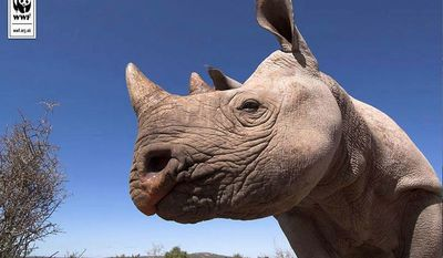 A rhino, one of the world's most endangered species due to illegal poaching for its horn. (World Wildlife Fund)