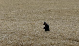 In this photo taken Monday, May 18, 2015, Gino Celli inspects wheat nearing harvest on his farm near Stockton, Calif. Celli, who farms 1,500 acres of land and manages another 7,000 acres, has senior water rights and draws his irrigation water from the Sacramento-San Joaquin River Delta. (AP Photo/Rich Pedroncelli)