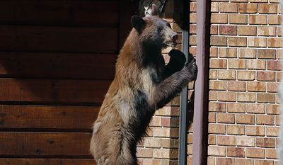 A yearling black bear stands up against the side of a house Wednesday afternoon, May 27, 2015 on Newport Street in Casper, Wyo. The bear was spotted multiple times throughout the day in east Casper. Game wardens hoped to tranquilize the yearling and relocate it outside of town. (Alan Rogers/The Casper Star-Tribune via AP) ** FILE **