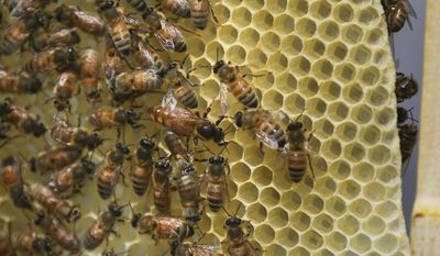A honey bee queen, center, mills about a honeycomb as it's hive receives routine maintenance as part of a collaboration between the Cincinnati Zoo and TwoHoneys Bee Co., Wednesday, May 27, 2015, at EcOhio Farm in Mason, Ohio. (AP Photo/John Minchillo)