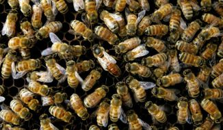 The U.S. Air Force plans to use lessons learned from bee behavior to create algorithms for fleets of swarming drones. (Associated Press) ** FILE **