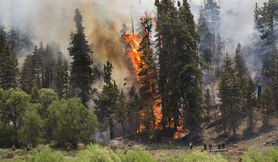 A tall pine tree erupts into flames as hotshot crews from Mill Creek keep the Lake Fire from crossing a meadow into Heart Bar Training Facility, Friday June 19, 2015 in the San Bernardino National Forest area of Angelus Oaks, Calif. (Gina Ferazzi/Los Angeles Times via AP)  NO FORNS; NO SALES; MAGS OUT; ORANGE COUNTY REGISTER OUT; LOS ANGELES DAILY NEWS OUT; INLAND VALLEY DAILY BULLETIN OUT; MANDATORY CREDIT, TV OUT; MANDATORY CREDIT