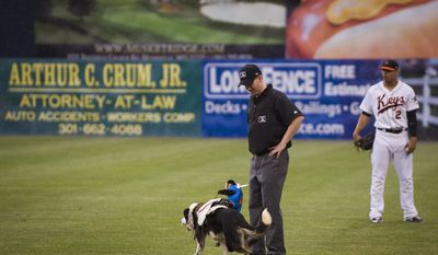 A Capuchin monkey riding on the back of a dog bumps into umpire Chase Eade as the monkeys try to corral goats on the field during the Cowboy Monkey Rodeo in between innings as the Frederick Keys host the Wilmington Blue Rocks at Nymeo Field at Harry Grove Stadium in Frederick, Md., Saturday, June 20, 2015. (Rod Lamkey Jr./Special for The Washington Times)