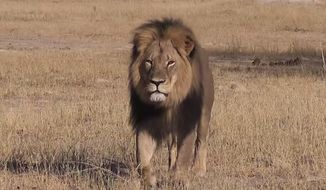 Local authorities allege that Cecil the lion was lured from a protected area and killed in early July, and Zimbabwean conservationists said Minnesota dentist Walter Palmer allegedly paid $50,000 to kill the lion. Two Zimbabwean men are scheduled to appear in court for their role in the hunt. (Screen grab from YouTube)