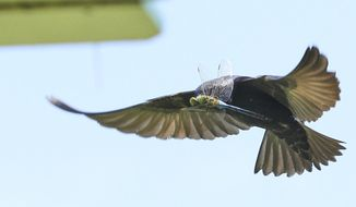 A purple martin flies near a house with a dragonfly in it's mouth Thursday, July 9, 2015 over the property of Ike Kumrow in Scott, Wis.   Kumrow has almost 175 purple martins that fly and nest in their backyard.  (John Ehlke/West Bend Daily News via AP) MANDATORY CREDIT