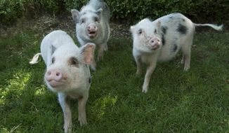 This photo from Friday, July 31, 2015, provided by the Wildlife Conservation Society, shows three Juliana pigs on their debut at Brooklyn's Prospect Park Zoo in New York.  Juliana pigs are the smallest breed of miniature pig. They weigh no more than 65 pounds when full grown. (Julie Larsen Maher, Wildlife Conservation Society via AP)