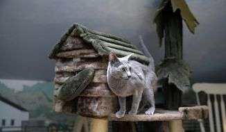 In this photo taken Tuesday, Aug. 4, 2015, Boris, a Russian blue cat, stands on a playhouse for cats at Morris Animal Inn in Morristown, N.J. Boris is being pampered in ways traditionally reserved for dogs just a few years ago. The number of feline guests at this trendsetting pet hotel have gone up, as have estimates of the number of feline pets in the United States. (AP Photo/Mel Evans)