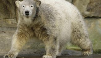 FILE - In this Dec. 5, 2007 file picture polar bear Knut  walks in the enclosure during  the celebration of his first birthday in the Zoo Berlin.  Scientists in Germany say they have finally figured out what killed Knut the polar bear four years ago. Knut drowned after swelling of his brain caused him to collapse and fall into his enclosure's pool at Berlin Zoo. In an article published Thursday Aug. 27, 2015  by the journal Nature Scientific Reports, researchers say Knut suffered from anti-NMDA receptor encephalitis.  (AP Photo/Markus Schreiber,file)