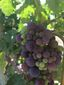 WT Grapes from a Vineyard in Margaux copy.jpg