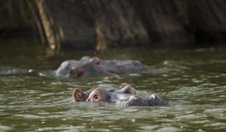 In this photo taken Sunday, Sept. 6, 2015, hippopotamuses lie partially-submerged in the waters of Lake Ihema in Akagera National Park, eastern Rwanda. After the 1994 genocide in Rwanda, returning refugees swept into the park with herds of cattle and wiped out the last lions but now the once-abandoned reserve on the border with Tanzania is drawing more tourists, reducing poacher incursions and getting local villagers more involved in conservation - it even re-introduced lions this year. (AP Photo/Ben Curtis)
