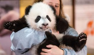In this photo taken Dec. 14, 2015, animal keeper Nicole MacCorkle holds Bei Bei, the National Zoo's newest panda and offspring of Mei Xiang and Tian Tian, for members of the media at the National Zoo in Washington. The youngest giant panda cub at the National Zoo is ready for his close-up. Bei Bei will make his public debut on Jan. 16. (AP Photo/Andrew Harnik)