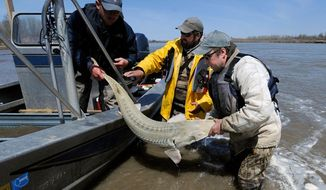 In this 2014 photo, rom left, Montana Fish, Wildlife and Parks employees Dave Fuller, Chris Wesolek, and Matt Rugg release a pallid sturgeon after taking blood samples from the fish. U.S. officials will consider an alternative to a dam proposed on the Yellowstone River over worries it could hurt an endangered fish species that dates to the time of dinosaurs, after a judge on Tuesday, Jan. 5, 2016 approved a settlement in a lawsuit over the project. (James Woodcock/The Billings Gazette via AP) MANDATORY CREDIT