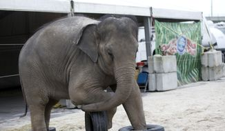 In this Friday, Jan. 8, 2016, photo, a young Asian elephant named April belonging to Ringling Bros. and Barnum & Bailey Circus, plays with tires in her enclosure outside the American Airlines Arena in Miami. The Ringling Bros. and Barnum & Bailey Circus is ending its elephant acts a year and a half early, and will retire all of its touring elephants in May. (AP Photo/Wilfredo Lee)