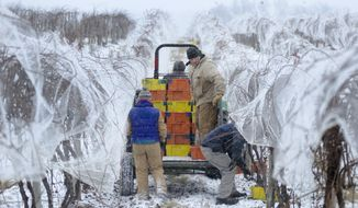 Workers pick up bins of Vidal Blanc grapes harvested during early morning freezing  temperatures at Hunt Country Vineyards in Branchport, N.Y., Monday, Jan. 4, 2016. The harvest yields ice wine - a sweeter, heavier and because of the extra work to produce it, often pricier white table wine.   (AP Photo/Heather Ainsworth)