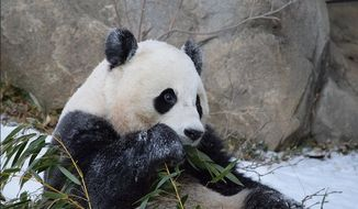 Giant panda Bao Bao plays in the snow at the Smithsonian National Zoo in Washington, D.C. (Image: Devin Murphy/Smithsonian's National Zoo)