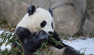 Giant panda Bao Bao plays in the snow at the Smithsonian National Zoo in Washington, D.C. (Image: Devin Murphy/Smithsonian's National Zoo) ** FILE **